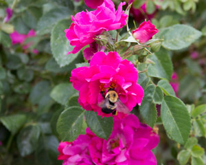 A bumble bee gathering nectar in deep pink tea roses in our Rose Garden